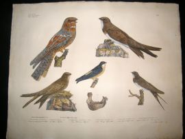 Goldfuss C1830 LG HC Bird Print. European Nightjar, Alpine Swift & Swallow